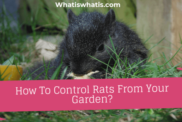 How To Control Rats From Your Garden