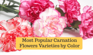 Beautiful Carnation Flower Varieties by Color