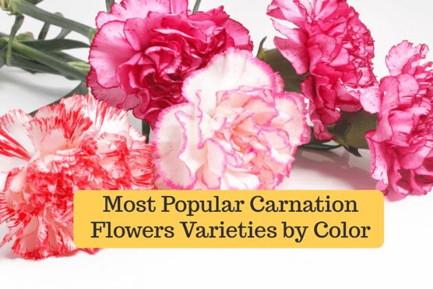 Beautiful Carnation Flower Varieties by Color